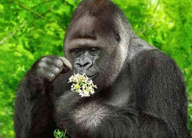 花占いをするイケメンゴリラ