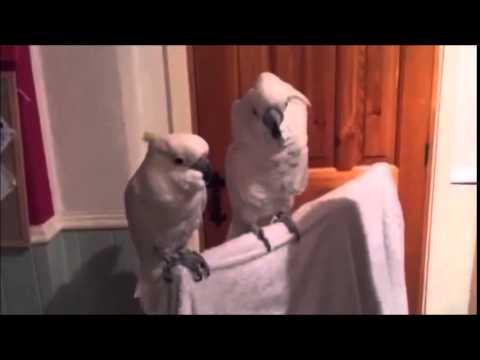 リズム感抜群のノリノリのオウム - YouTube