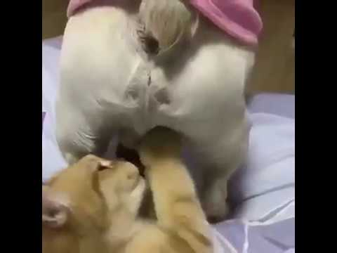 Funny cat playng with dog's balls !!!