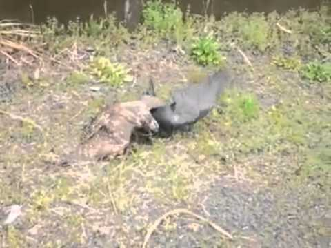 鷹がカラスを捕食 - YouTube