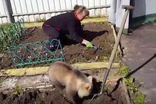 畑を耕す女性の真似をして、一心に穴を掘るクマの赤ちゃんが微笑ましい