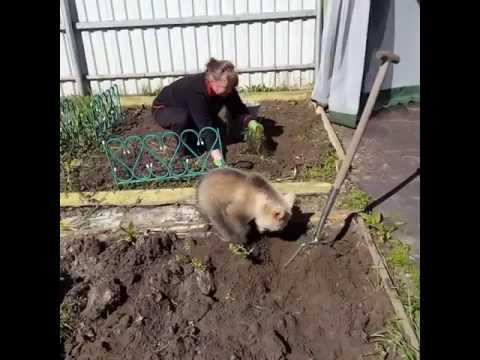 Медведь помогает сажать картошку, это Россия, мать вашу!)) - YouTube