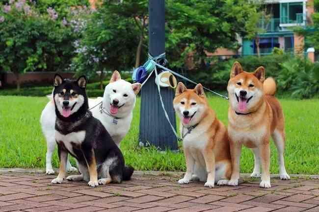 柴犬は全部で5種類!珍しいとされる山陰柴、美濃柴ってどんな犬?