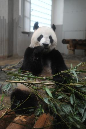 上野動物園のパンダ「シンシン」、偽妊娠の可能性高まる