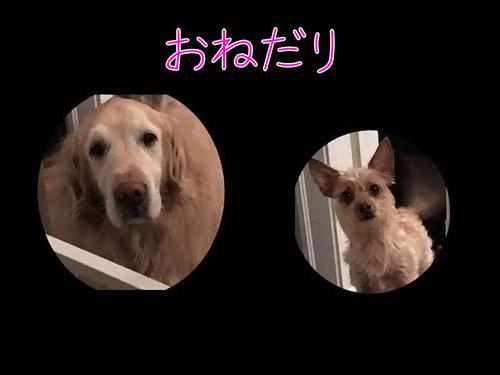 「うちの犬2匹は、ごはんのねだり方がずるい…ダメって言えない」:らばQ