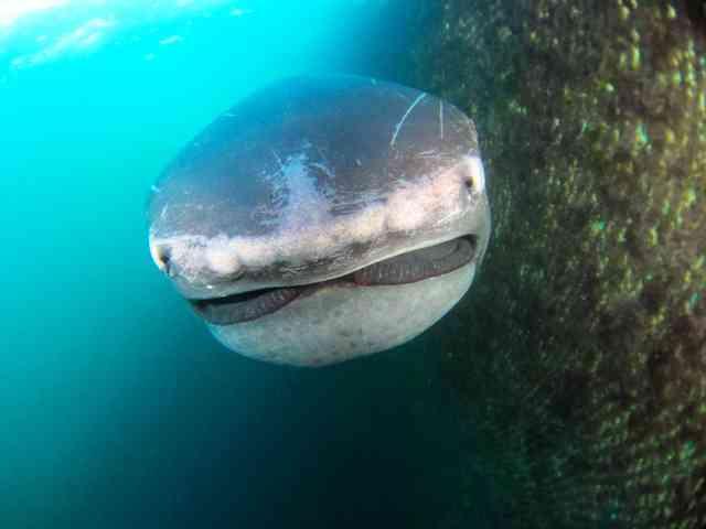 幻のサメ「メガマウス」、撮影に成功 千葉沖で定置網に (朝日新聞デジタル) - Yahoo!ニュース