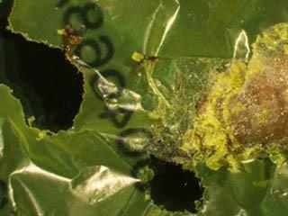 イモムシがレジ袋を食べることを確認 - プラスチックごみの生物分解に期待 | マイナビニュース