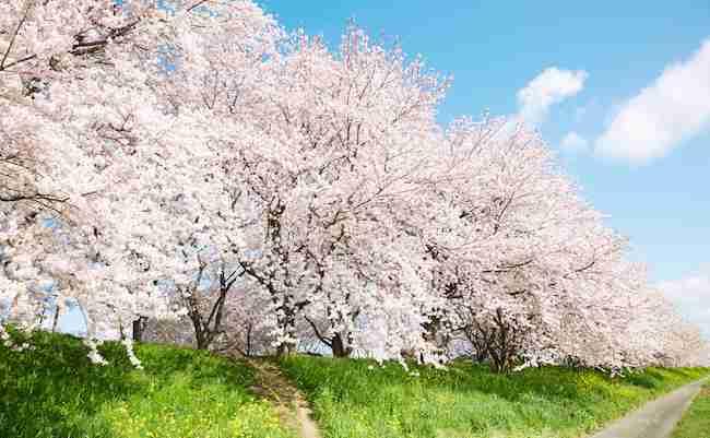 始まりは1本の樹。ソメイヨシノはすべて「クローン」という事実 - まぐまぐニュース!