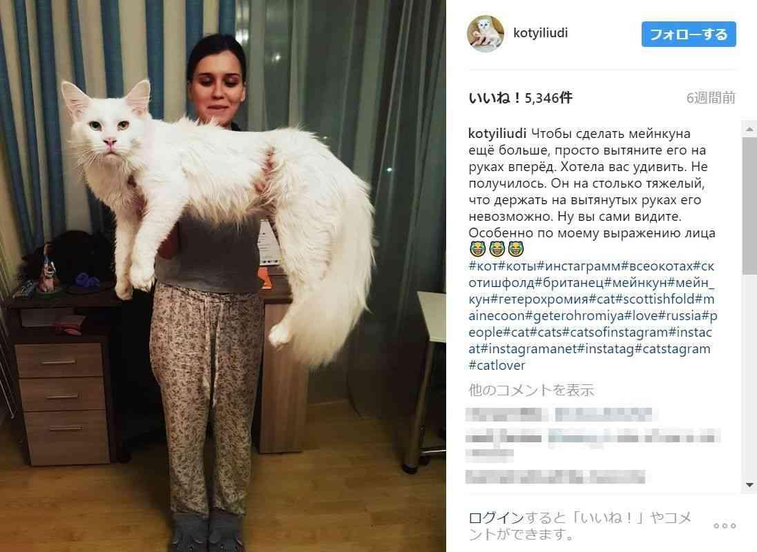 生後6カ月の子ネコ…だけどすでに大人の貫禄!! めちゃビッグサイズなロシアの白猫が大人気です | Pouch[ポーチ]