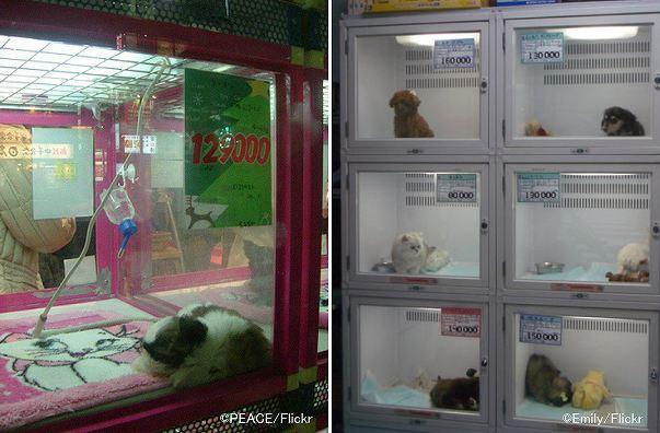 ペットショップで犬を買う前に~衝動買いでパピーミル(悪徳繁殖業者)の共犯にならないための注意点