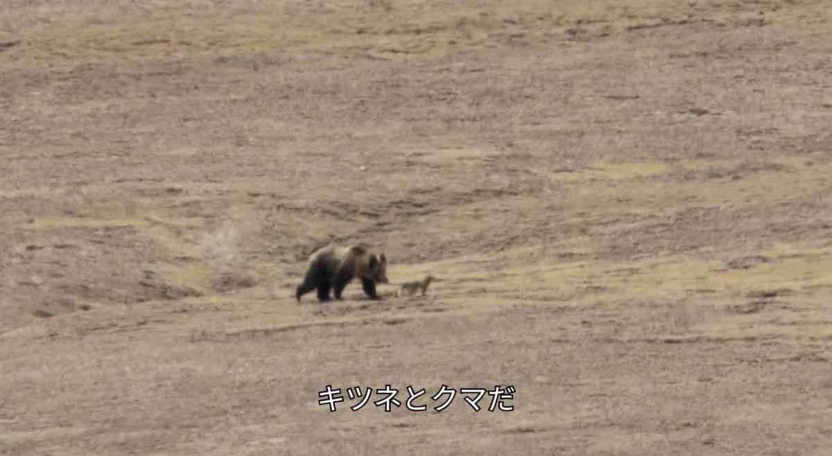 チベットスナギツネはあんな顔のくせに性格は図々しくて、チベットヒグマの狩りに勝手に付いていき、ナキウ… |T41さんのTwitterで話題の画像