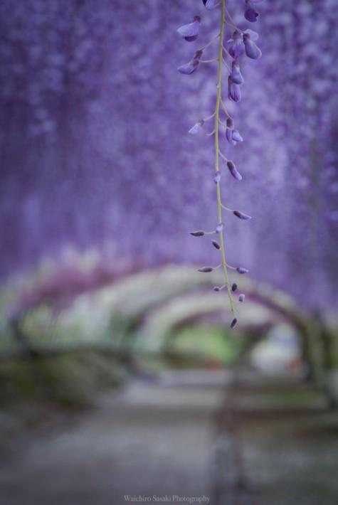 藤の名所で撮影した「藤棚の写真」に心奪われる人続出!「絶対死ぬまでには行きたい場所」との声も