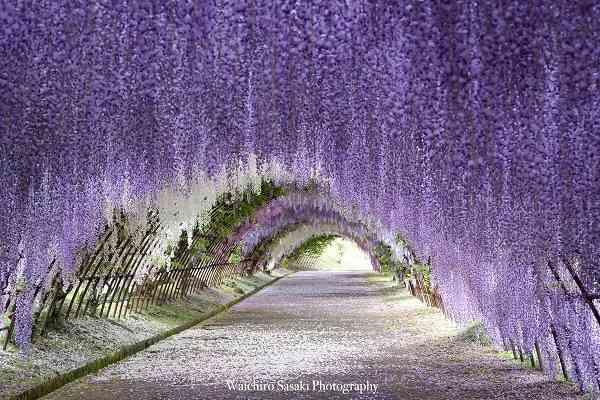 【聞いてみた】満開を迎えた「藤の花の写真」がSNSで話題!投稿者は写真歴1年半で独学