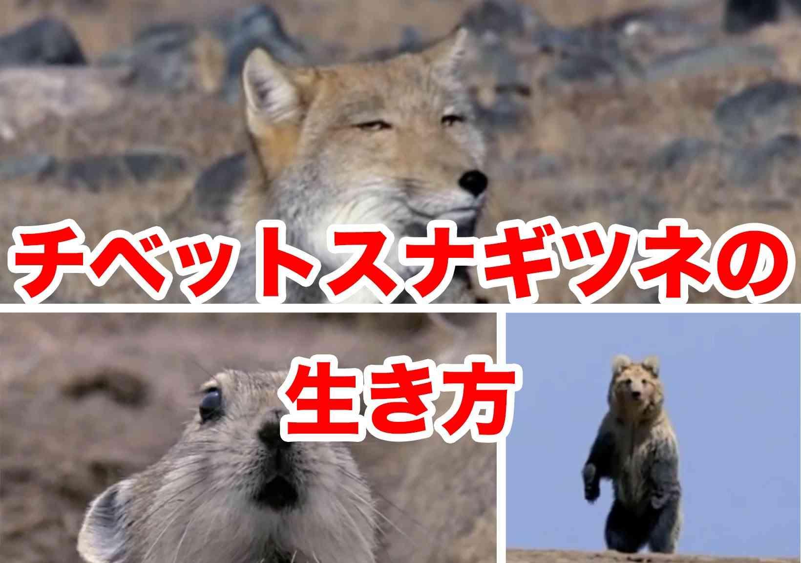 チベットスナギツネの狩り - YouTube