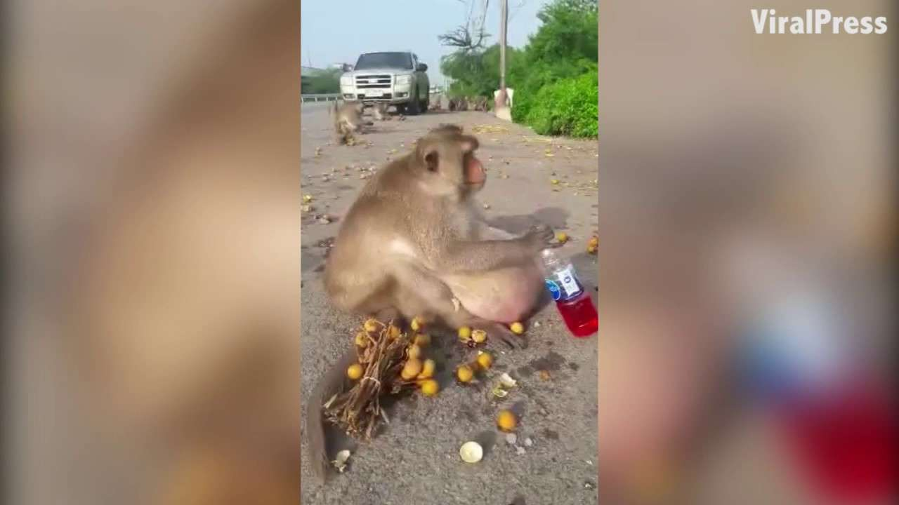 Obese Monkey Sent To Fat Camp In Thailand! - YouTube
