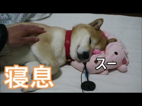 柴犬小春 【ASMR寝息】お気に入りのふわっふわ枕で寝付かせてみた^^ 後半、大イビキ注意! - YouTube