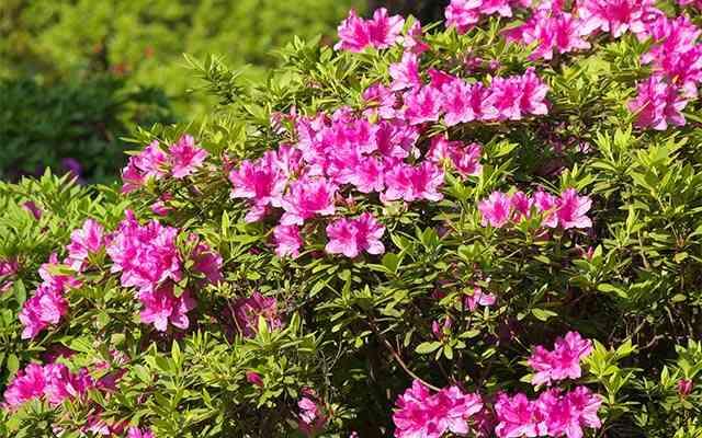 「花束を捧げているようでロマンチック」 多くの人が驚いたツツジ