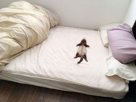 ベッドに大の字でばーん フェレットの寝姿がいつまでも見ていたい愛らしさ
