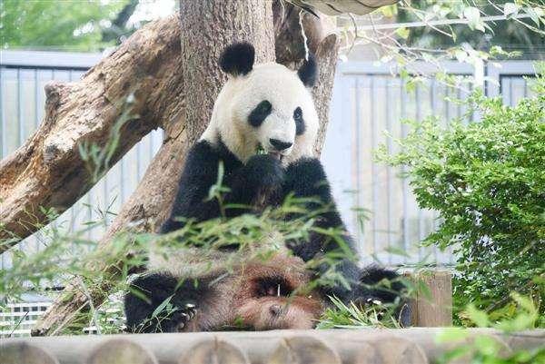 上野のパンダ、妊娠の可能性 雌のシンシン、食欲減退 - 産経ニュース