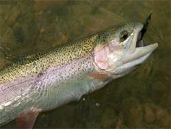 魚は痛み感じる能力があり、痛みの感じ方はヒトの新生児や早産児以上(英魚類学者研究) : カラパイア