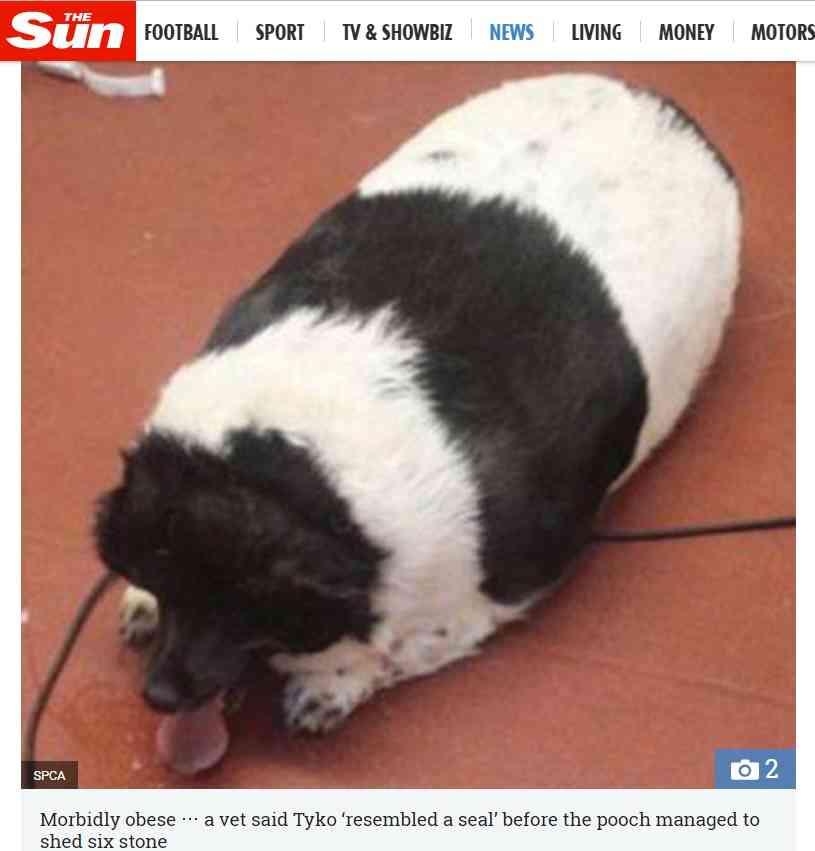 【海外発!Breaking News】「アザラシのよう」だった超肥満犬、37キロの減量に成功(スコットランド) | Techinsight(テックインサイト)|海外セレブ、国内エンタメのオンリーワンをお届けするニュースサイト