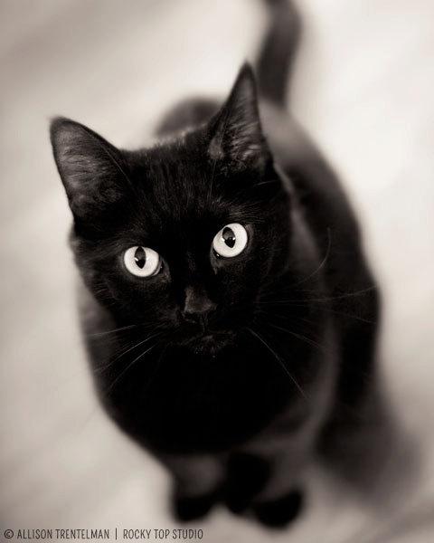 一部の迷信とは裏腹に、黒猫は縁起がいい『福猫』です! - 縁起物百科事典
