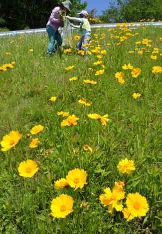 親しまれても…外来種 「特攻花」駆除に苦慮 鹿児島市 | 鹿児島のニュース | 南日本新聞 | 373news.com