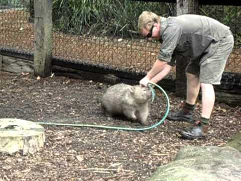 Fatty Wombat wants to play! - YouTube