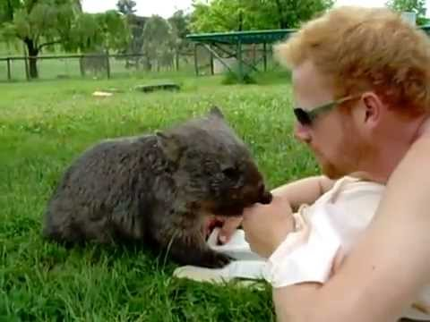 Man Cuddles With a Cute Wombat - YouTube
