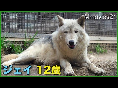 シンリンオオカミ ジェイ12歳の誕生日Eastern timber wolf - YouTube