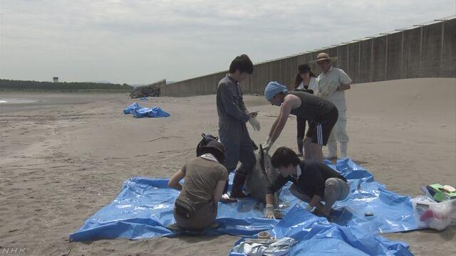 小型クジラ「ユメゴンドウ」7頭打ち上げられる 宮崎   NHKニュース
