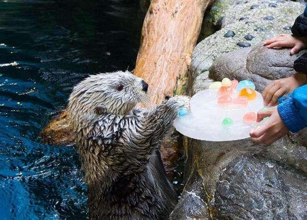 ご長寿ラッコにバースデー氷ケーキプレゼント 大阪・海遊館