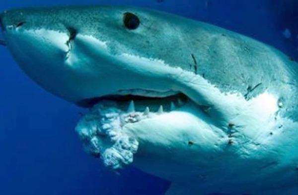 【マジか!】サメに鼻パンチは効かないらしい・・・。代わりの対処法、難易度高すぎ!|面白ニュース 秒刊SUNDAY