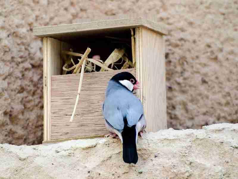 文鳥の品種、値段、性格、飼い方 - Petpedia(ペットペディア)