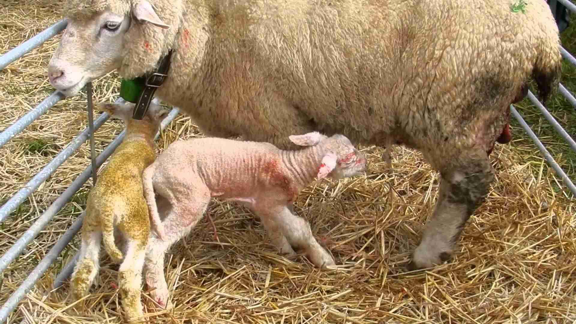 【閲覧注意】南アフリカの村で「半人半羊」が生まれたと住民がパニックに