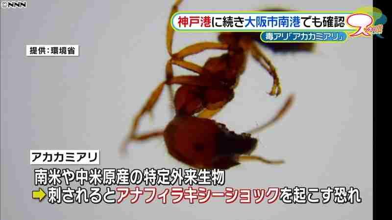 毒アリ「アカカミアリ」神戸に続き大阪でも|日テレNEWS24