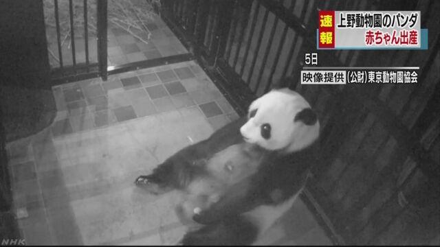上野動物園のジャイアントパンダが出産 平成24年以来   NHKニュース