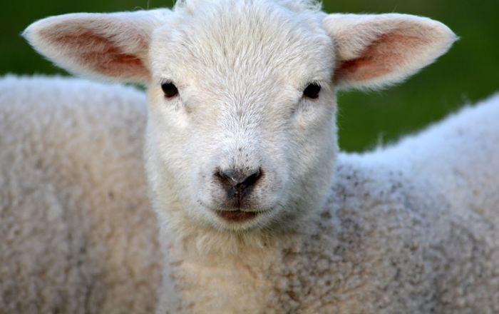 南アフリカの村で「半人半羊」が生まれる【写真】