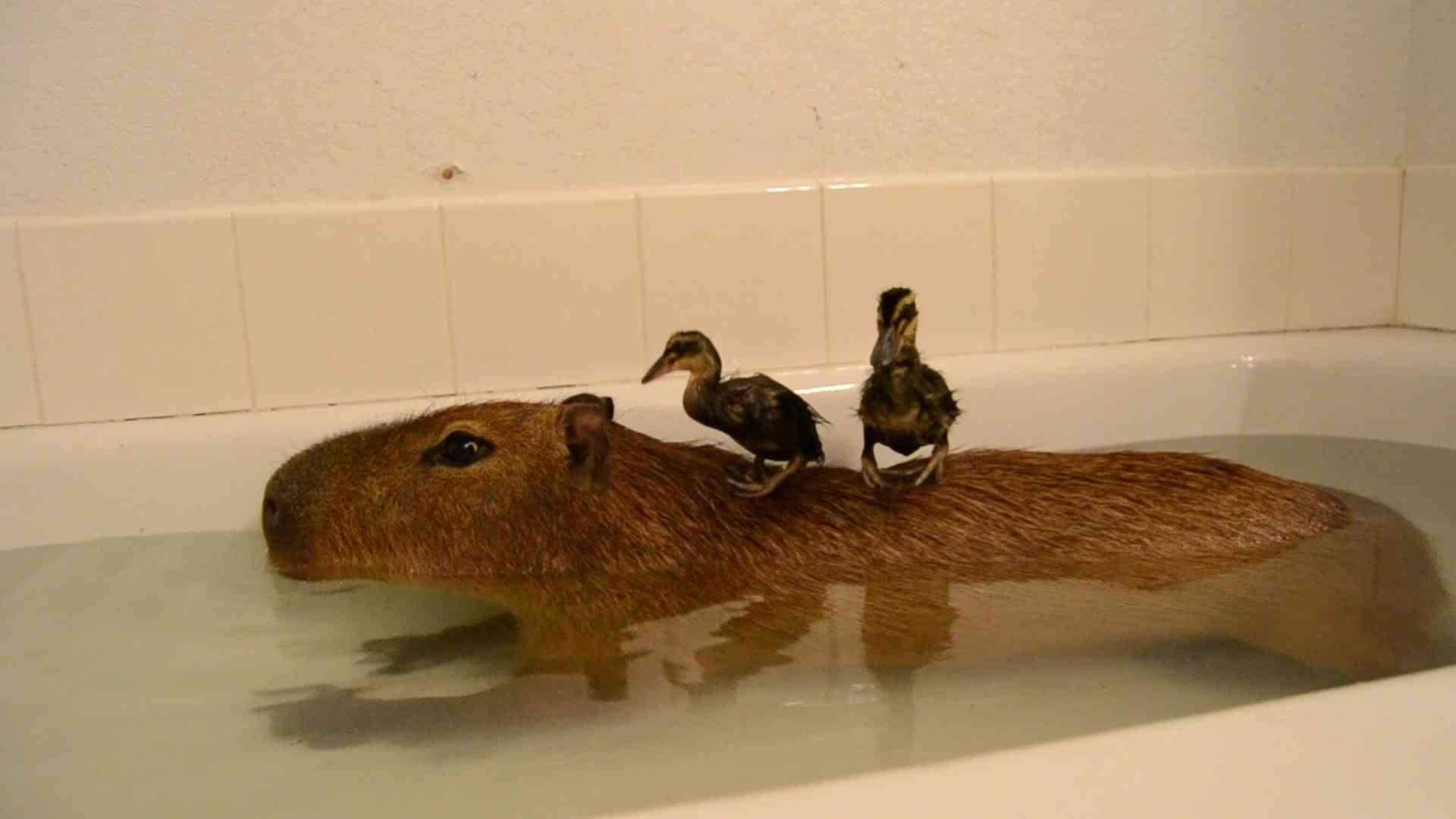 Capybara Island! - YouTube