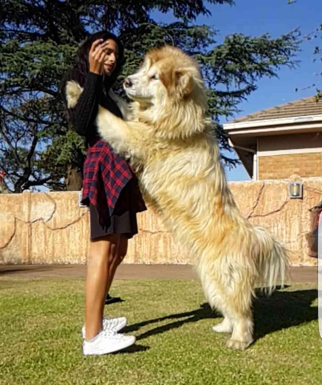 ライオンのような超巨大ワンコのフワモフボディーが話題