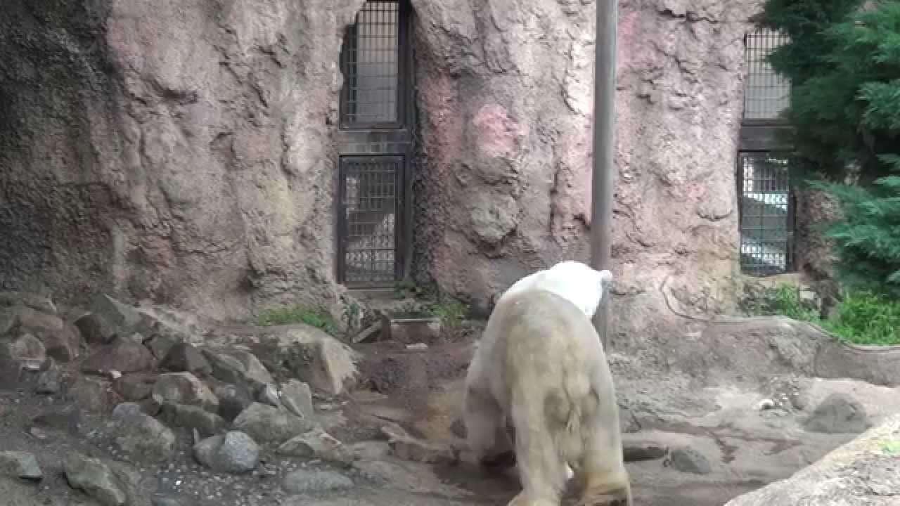 ホッキョクグマ「ジャンブイ」と「バリーバ」、そろって常同行動(よこはま動物園ズーラシア2015年6月11日) - YouTube
