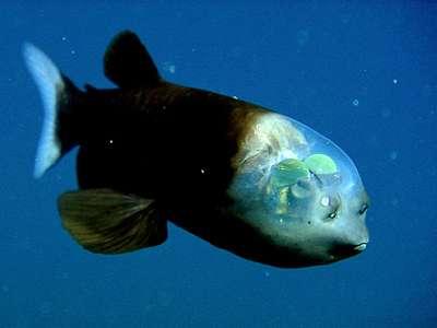 頭部がスケルトンの深海魚 デメニギス (深海魚大全集)