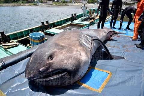 幻のサメが次々に出没 専門家「地震の前触れとして警戒すべき」