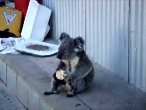 Sad Koala Eats An Apple - YouTube