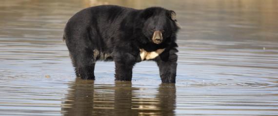泳ぐツキノワグマ、相模湖で目撃 注意を呼びかけ「クマは泳ぎます」