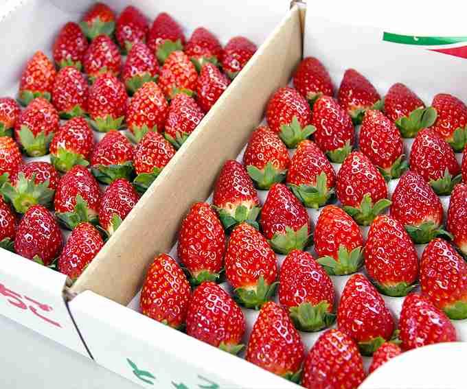 イチゴ品種、韓国に流出…損失5年で220億円 進まぬ海外登録