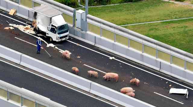 ブタ19頭、トラック事故で逃げる 阪神高速が通行止め:朝日新聞デジタル