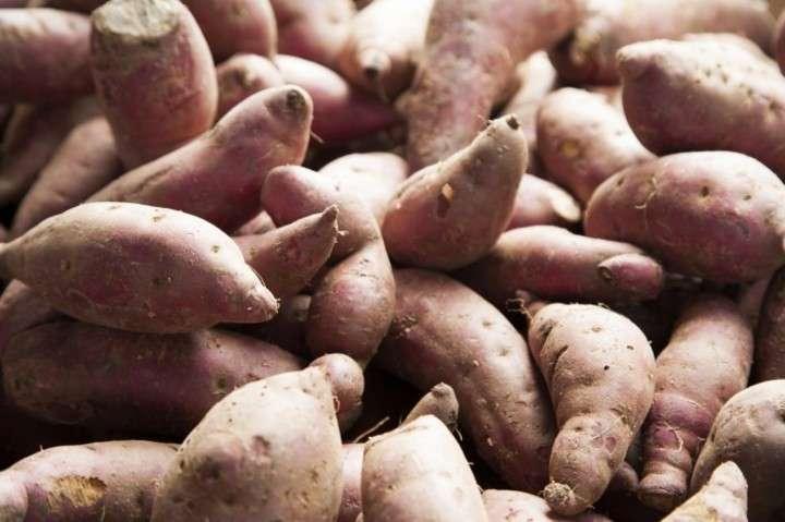 中国人旅行者、日本からこっそりサツマイモの苗を持ち込もう... - Record China