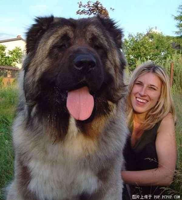 大型犬よりも大きい 超大型犬の迫力が凄すぎる