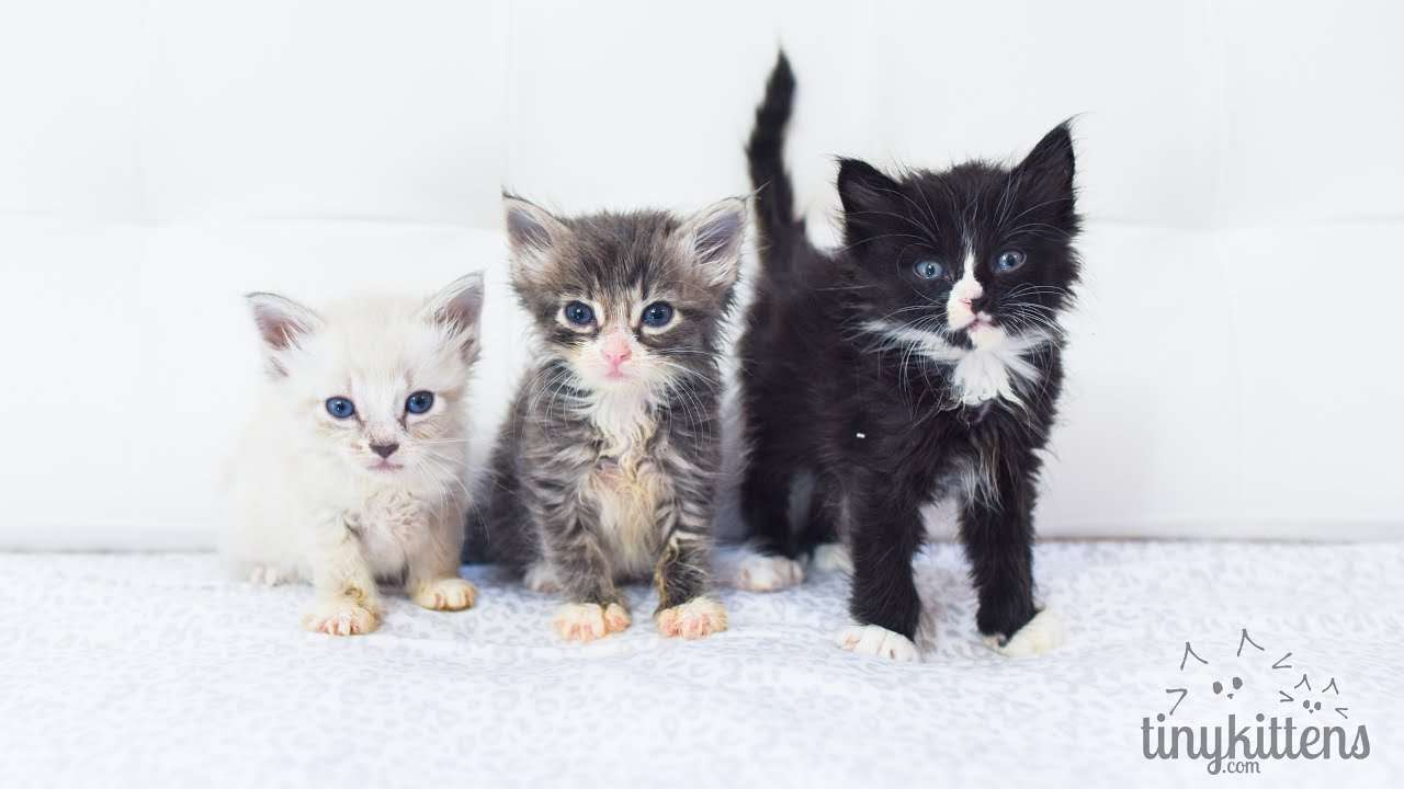 """Six tiny rescued orphan kittens - the """"Canada"""" kittens are LIVE on TinyKittens.com - YouTube"""